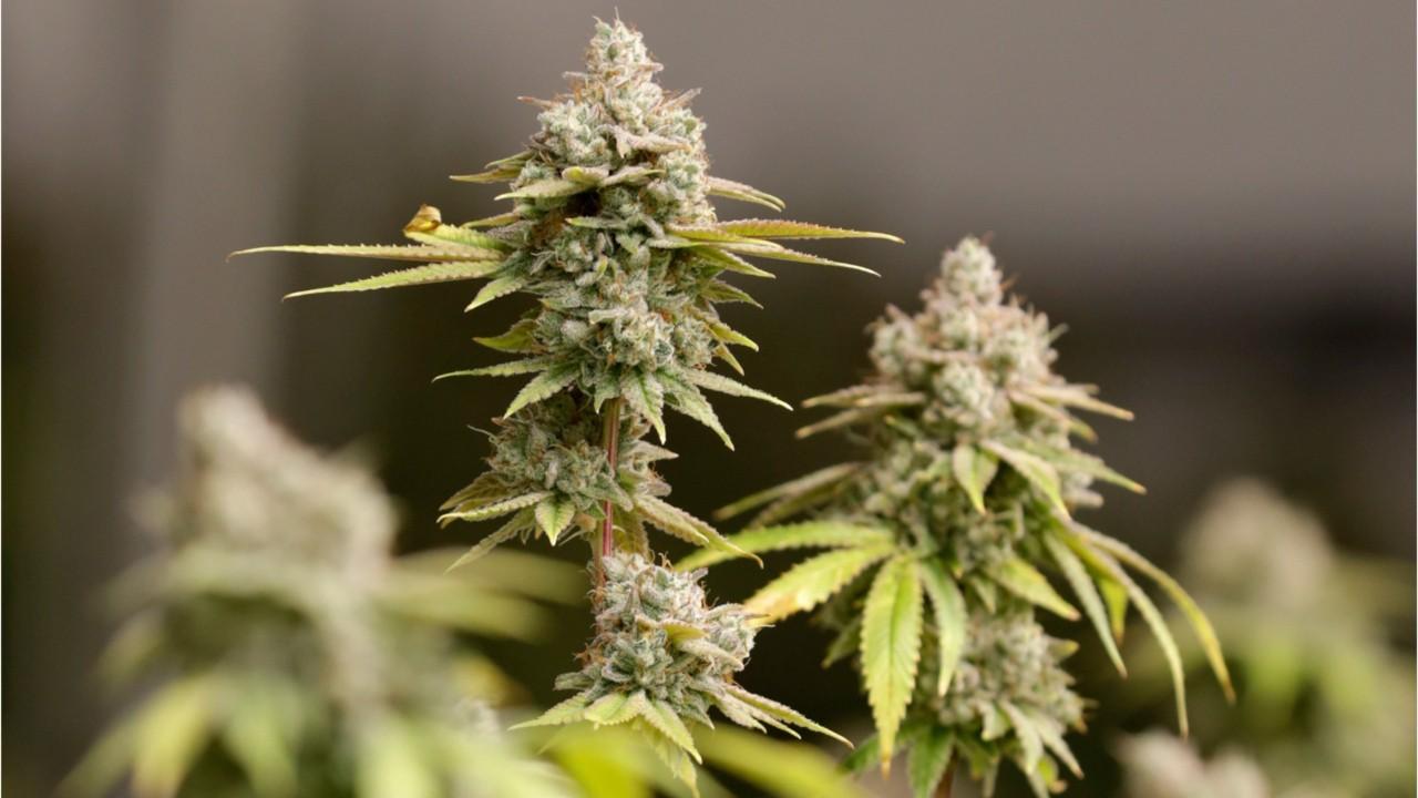 Конопля разбор отличие медицинской марихуаны